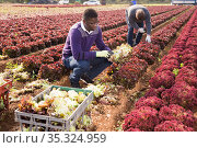 Male workers harvesting lettuce on the field and put in boxes. Стоковое фото, фотограф Яков Филимонов / Фотобанк Лори
