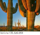 Saguaro cacti (Carnegiea gigantea) Cabeza Prieta National Wildlife... Стоковое фото, фотограф Jack Dykinga / Nature Picture Library / Фотобанк Лори