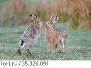 Brown hares (Lepus europaeus) boxing. Durham, UK. April. Стоковое фото, фотограф Oscar Dewhurst / Nature Picture Library / Фотобанк Лори