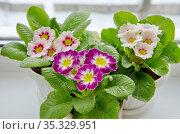 Разноцветные примулы (лат. Primula vulgaris) в горшках на подоконнике крупным планом. Стоковое фото, фотограф Елена Коромыслова / Фотобанк Лори
