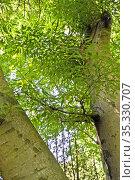 Бук лесной разрезнолистный (Fagus sylvatica, var. laciniata ). Фрагмент ствола и кроны. Стоковое фото, фотограф Ирина Борсученко / Фотобанк Лори