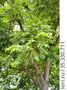 Орех айлантолистный (Орех Зибольда) (Juglans ailantifolia Carriere). Фрагмент кроны дерева. Стоковое фото, фотограф Ирина Борсученко / Фотобанк Лори