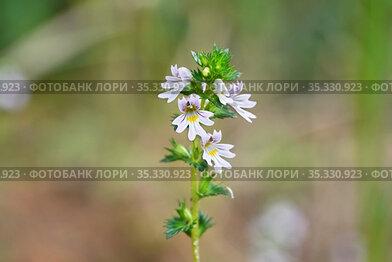 Очанка лекарственная (Euphrasia officinalis). Цветение