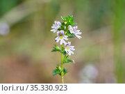 Очанка лекарственная (Euphrasia officinalis). Цветение. Стоковое фото, фотограф Dmitry29 / Фотобанк Лори