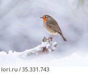 European Robin (Erithacus rubecula) in snowy garden, Wales, UK, January... Стоковое фото, фотограф Andy Rouse / Nature Picture Library / Фотобанк Лори