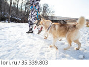 Two pets animal friend sled dog husky breed red and gray walk on a leash with a man owner outdoors in the snow in winter in cold weather. Стоковое фото, фотограф Светлана Евграфова / Фотобанк Лори