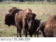 Germany, Essel - american bisons on the pasture, bison farm Essel. Редакционное фото, агентство Caro Photoagency / Фотобанк Лори