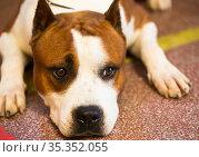 brown thoroughbred American Pit Bull Terrier dog. Стоковое фото, фотограф Татьяна Яцевич / Фотобанк Лори