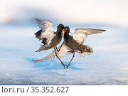Spotted redshank (Tringa erythropus), two males fighting above snow. Pasvik, Norway. May. Стоковое фото, фотограф Erlend Haarberg / Nature Picture Library / Фотобанк Лори