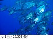 School of Caranx fishes swim close to the camera. Стоковое фото, фотограф Сергей Новиков / Фотобанк Лори