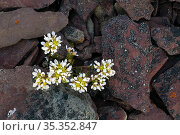 Common scurvygrass (Cochlearia officinalis) amongst rocks. Varanger, Norway. June. Стоковое фото, фотограф Erlend Haarberg / Nature Picture Library / Фотобанк Лори