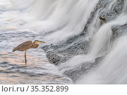 Great blue heron (Ardea herodias) fishing in foaming water discharged from water treatment works into Sweetwater Wetlands. Tucson, Arizona, USA. 2020. Стоковое фото, фотограф Jack Dykinga / Nature Picture Library / Фотобанк Лори