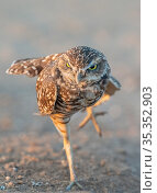 Burrowing owl (Athene cunicularia) stretching in evening light, standing on one leg. Marana, Arizona, USA. Стоковое фото, фотограф Jack Dykinga / Nature Picture Library / Фотобанк Лори