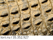 Saltwater crocodile (Crocodylus porosus), close up of scales. Captive. Стоковое фото, фотограф Enrique Lopez-Tapia / Nature Picture Library / Фотобанк Лори