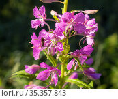 Wiillow-herb close up. Стоковое фото, фотограф Argument / Фотобанк Лори