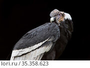 Portrait of a male Andean condor (Vultur gryphus) , Andean Condor Huasi Project , Ecuador. Стоковое фото, фотограф Maxime Aliaga / Nature Picture Library / Фотобанк Лори