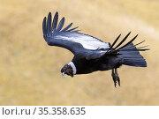 Andean condor (Vultur gryphus) male flying. Antisanilla reserve, Ecuador, August 2015. Стоковое фото, фотограф Maxime Aliaga / Nature Picture Library / Фотобанк Лори