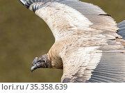 Andean condor (Vultur gryphus) juvenile male in flight, Antisanilla reserve, Ecuador. Стоковое фото, фотограф Maxime Aliaga / Nature Picture Library / Фотобанк Лори