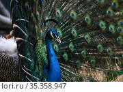 Portrait of a peacock on the background of his own tail. Стоковое фото, фотограф Евгений Харитонов / Фотобанк Лори