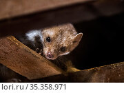 Beech / Stone marten(Martes foina) looking down from beam in wooden roof truss, Germany. Captive. Стоковое фото, фотограф Philippe Clement / Nature Picture Library / Фотобанк Лори