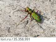 Green tiger beetle (Cicindela campestris) sunning on dry sand in heathland, Belgium. August. Стоковое фото, фотограф Philippe Clement / Nature Picture Library / Фотобанк Лори