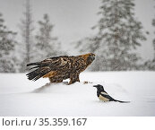 Golden eagle (Aquila chrysaetos) and Magpie (Pica pica )in snow, Kuusamo, Finland, January. Стоковое фото, фотограф David Tipling / Nature Picture Library / Фотобанк Лори
