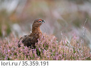 Red grouse (Lagopus lagopus scotica) male amongst flowering heather on Lochindorb grouse moor, Speyside Scotland September. Стоковое фото, фотограф David Tipling / Nature Picture Library / Фотобанк Лори