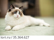 Beautiful young white purebred Ragdoll cat with blue eyes. Стоковое фото, фотограф Peredniankina / Фотобанк Лори