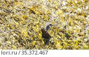 Jumping sea fish on a stone. Стоковое видео, видеограф Игорь Жоров / Фотобанк Лори