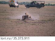 Cheetah (Acinonyx jubatus), killing a young wildbeast with safari vehicles watching nearby, Masai Mara, Kenya. Стоковое фото, фотограф Hermann Brehm / Nature Picture Library / Фотобанк Лори