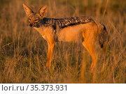 Black-backed jackal (Canis mesomeles), Masai Mara, Kenya. Стоковое фото, фотограф Hermann Brehm / Nature Picture Library / Фотобанк Лори