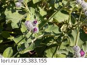 Purple wooly burdock flowers are in the garden in summer on a blurred green background. Стоковое фото, фотограф Татьяна Куклина / Фотобанк Лори