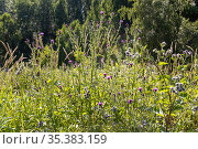 Purple Plumeless thistles and wooly burdock flowers are in the garden in summer on a blurred green background. Стоковое фото, фотограф Татьяна Куклина / Фотобанк Лори