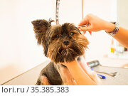 Portrait of cute Yorkshire terrier while fur combing. Owner preparing... Стоковое фото, фотограф Zoonar.com/OKSANA SHUFRYCH / easy Fotostock / Фотобанк Лори