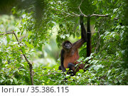 Geoffroy's spider monkey (Ateles geoffroyi) in tropical rainforest. Osa Peninsula, Costa Rica. Стоковое фото, фотограф Cyril Ruoso / Nature Picture Library / Фотобанк Лори