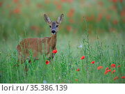 Roe deer (Capreolus capreolus) female in grassland with Meadow poppy (Papaver rhoeas). Yonne, France. June. Стоковое фото, фотограф Cyril Ruoso / Nature Picture Library / Фотобанк Лори