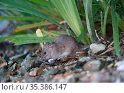Brown rat (Rattus norvegicus) feeding on bank of River Yonne. Sens, France. September. Стоковое фото, фотограф Cyril Ruoso / Nature Picture Library / Фотобанк Лори