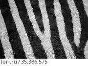 Plains zebra (Equus quagga), close up of striped fur. Namibia. Стоковое фото, фотограф Mark MacEwen / Nature Picture Library / Фотобанк Лори