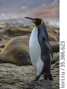 King penguin (Aptenodytes patagonicus) walking past Southern elephant seal (Mirounga leonina) sleeping within colony. St Andrews Bay, South Georgia. October. Стоковое фото, фотограф Mark MacEwen / Nature Picture Library / Фотобанк Лори