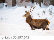 Vigilant red deer, cervus elaphus, paying attention in the middle... Стоковое фото, фотограф Zoonar.com/Jakub Mrocek / easy Fotostock / Фотобанк Лори