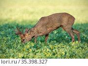 Roe deer, capreolus capreolus, buck feeding on rapeseed oil, brassica... Стоковое фото, фотограф Zoonar.com/Jakub Mrocek / easy Fotostock / Фотобанк Лори