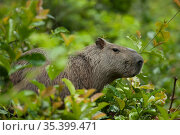 Capybara (Hydrochoerus hydrochaeris) in forest. Tresor Regional Nature Reserve, French Guiana. Стоковое фото, фотограф Pascal Kobeh / Nature Picture Library / Фотобанк Лори