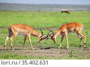 Fighting impalas. Стоковое фото, фотограф Art Konovalov / Фотобанк Лори