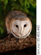 Typicalbarn owl. Стоковое фото, фотограф Алексей Кузнецов / Фотобанк Лори