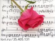 Малиново-розовая роза на нотах композитора Шопена. Стоковое фото, фотограф Валерия Попова / Фотобанк Лори