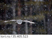 Great Grey Owl (Strix nebulosa) flying during snowfall, Kuhmo Finland, March. Стоковое фото, фотограф Markus Varesvuo / Nature Picture Library / Фотобанк Лори