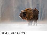 European Bison (Bison bonasus) in winter, Bialowieza National Park, Poland. January. Стоковое фото, фотограф Mateusz Piesiak / Nature Picture Library / Фотобанк Лори