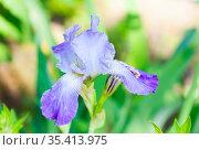 Цветок ириса сибирского (Iris sibirica) Стоковое фото, фотограф Наталия Шевченко / Фотобанк Лори