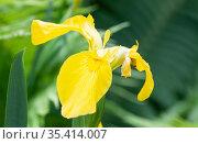 Ирис болотный желтый (Iris pseudacorus), цветок. Стоковое фото, фотограф Наталия Шевченко / Фотобанк Лори
