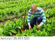 farmer with rake holding green romaine lettuce. Стоковое фото, фотограф Яков Филимонов / Фотобанк Лори